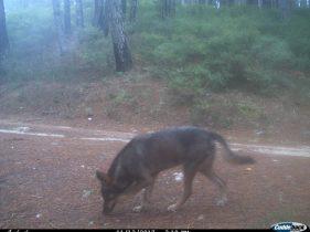 Monitoraggio lupo in Aspromonte