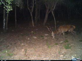 Censimento cervo sardo Cagliari