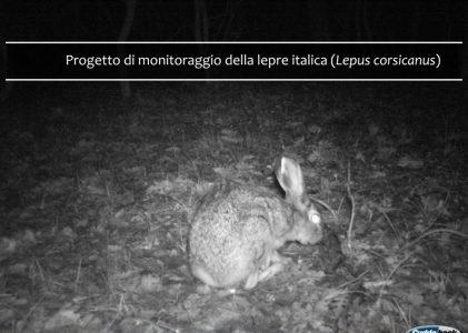Monitoraggio della lepre italica al Circeo