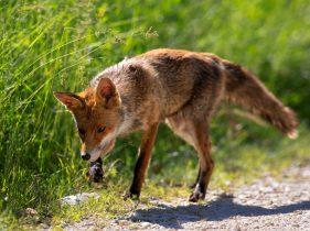 Scheda Sicilia: la volpe